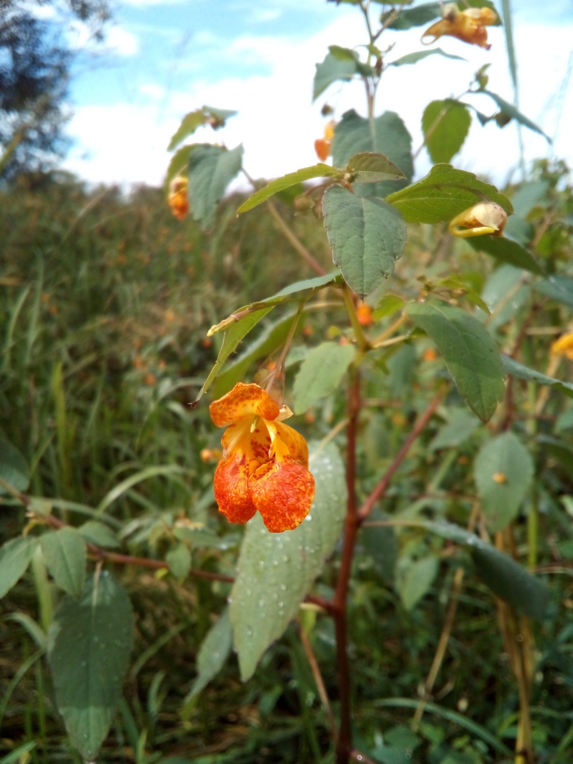 Orange balsam: The lesser of two evils?